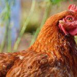 caracteristicas de las gallinas